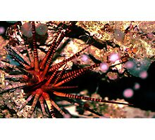 Urchin Photographic Print