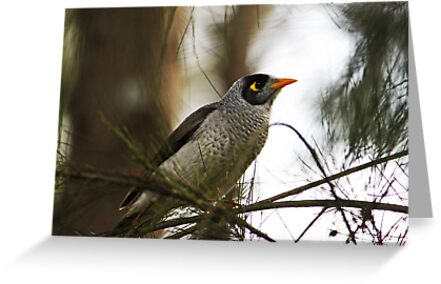 Noisy Miner by Evita