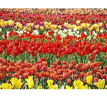 Tulip Flower Festival art Field of Tulips Baslee Troutman Photographic Print
