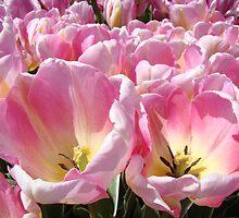 Tulip Flowers art Tulips Festival Woodburn Oregon by BasleeArtPrints
