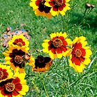 Bold yellow and brown wildflowers from seed by Paula Betz