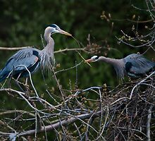 Building their Nest by David Friederich