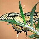 Butterfly XX  (Anise Swallowtail) by loiteke