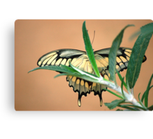 Butterfly XX  (Anise Swallowtail) Canvas Print