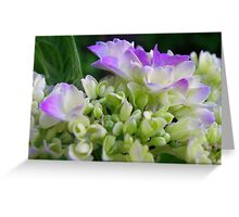Early Stage Hydrangea Blooms Greeting Card
