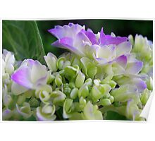 Early Stage Hydrangea Blooms Poster