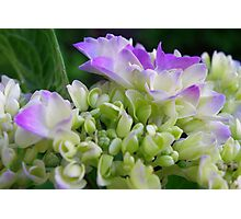 Early Stage Hydrangea Blooms Photographic Print