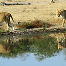 Lioness reflections! by jozi1