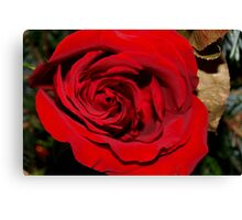 Holiday rose Canvas Print
