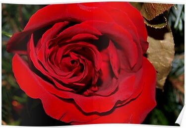 Holiday rose by ♥⊱ B. Randi Bailey
