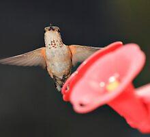 Hummingbird by KansasA