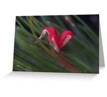 Adenanthos sericeous Greeting Card