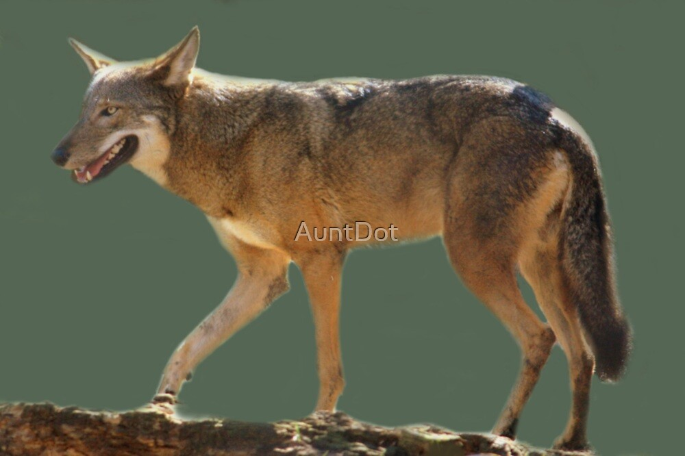 Endangered Red Wolf by AuntDot
