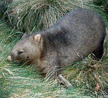 Contented Wombat, Cradle Mountain,Tasmania, Australia. by kaysharp