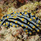 Nudibranch - Phyllidia varicosa by Andrew Trevor-Jones