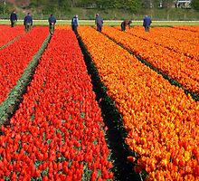 working in the tulip fields by supergold