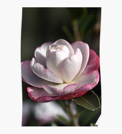Camellia Bloom Poster