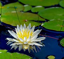 Lily Pad Blossom by Joe Jennelle