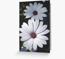White African Daisies Greeting Card