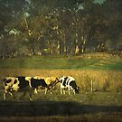 The bush, the cows, the gums ... by Chris Armytage™