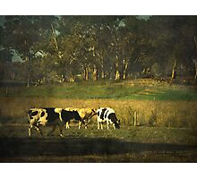 The bush, the cows, the gums ... Photographic Print