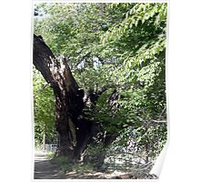 One of the Oldest Cottonwood Trees in Corrales Poster