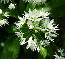 Wild garlic by Meladana