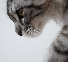 Nothing but grace - Maine Coon kitten by elainejhillson