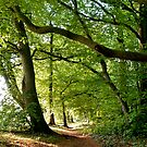 Beacon Hill beech avenue, Hampshire by Alex Cassels