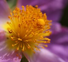 Rock Rose by marens