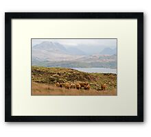 Highland cows Framed Print