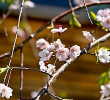 Weeping Cherry Blossoms by Winnie Abramson