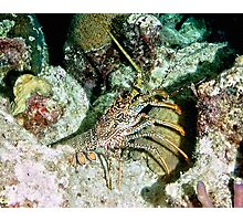 Caribbean Spotted Lobster on Night Dive Photographic Print