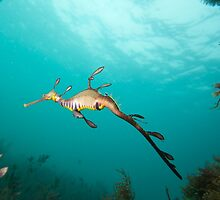 Weedy Sea Dragon by dhaintz
