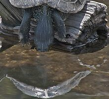 Drinking Turtle by Scott Evers