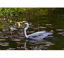 Grey heron feeding in Wales Photographic Print