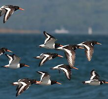 european oystercatcher's in flight by Jon Lees