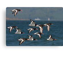 european oystercatcher's in flight Canvas Print
