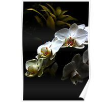 White orchid - Phalaenopsis Poster