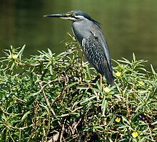 Green-backed Heron by KAREN SCHMIDT