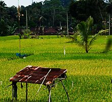 Ubud Rice Fields by Steve Tognazzini