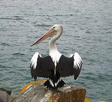A Pelican at Pelican, NSW by Sharon Brown