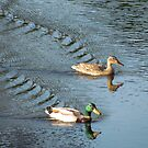 Mr. & Mrs. Mallard by Caren