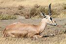 Grant's Gazelle, Serengeti, Tanzania by Carole-Anne