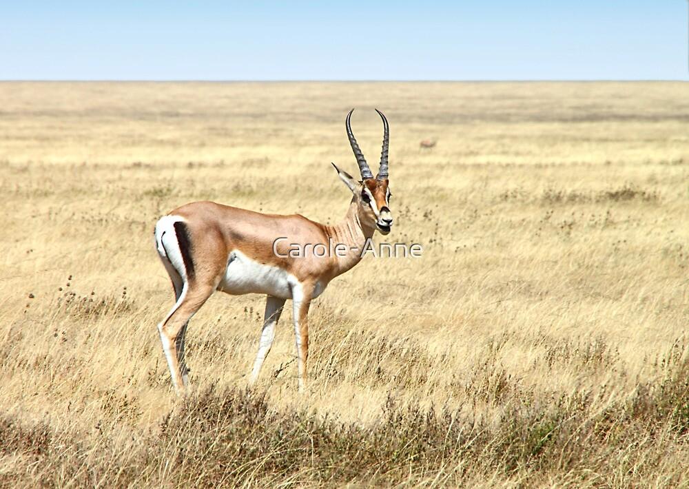 Grant's Gazelle, Serengeti, Tanzania. by Carole-Anne