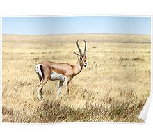 Grant's Gazelle, Serengeti, Tanzania. Poster
