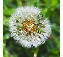 closeup of dandilion with raindrops Photographic Print