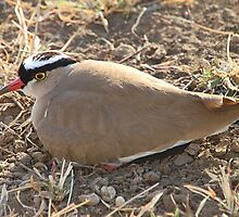 Crowned Lapwing Plover, Serengeti, Tanzania  by Carole-Anne