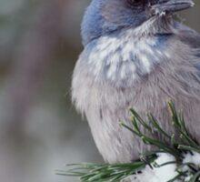 Western Scrub-Jay on snowy branch Sticker