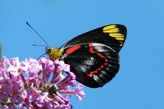 Common (Black) Jezebel, Delias nigrina 2 by Trish Meyer